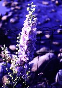 Summer - Delphinium