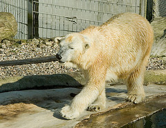lazy-polar-bear.jpg