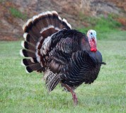 A fresh Dawn Farm-raised turkey for Thanksgiving