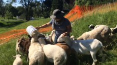 Sheep mowing service by Project Mow