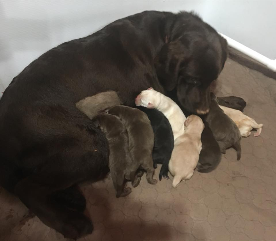 mocha pups - Available Lab Puppies for sale in Kansas City Missouri