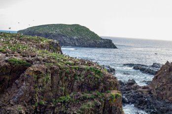 Puffin land! Sandy Cove, Bonavista Bay