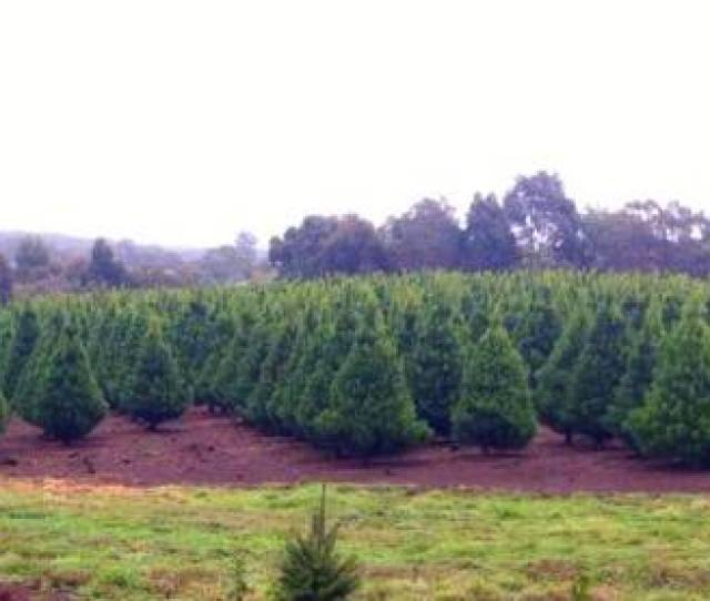 Fresh Christmas Trees Are Trimmed And Cared For All Year Round