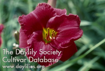 AHS Daylily Cultivar Detailed Information