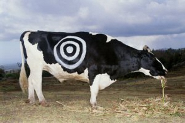 This cow don't want to live either