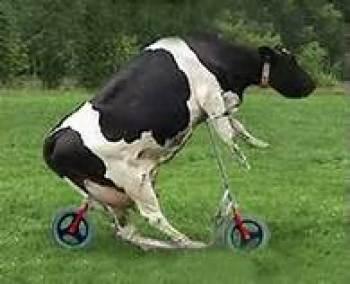 Your cow won the Tour de France on steroids