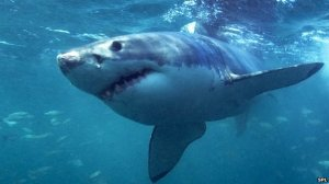 Fishermen Fend Off Shark: Time To Rethink Great White As A Protected Species?