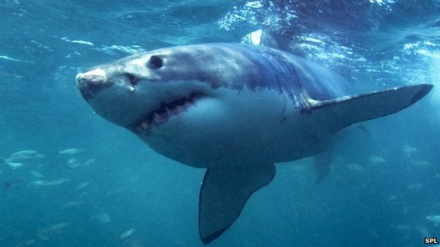 Shark Brains Similar To Humans Say Researchers
