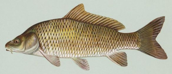 Thousands of dead fish Common carp (Cyprinus carpio). Public domain image from USFWS National Image Library. Created by Duane Rave