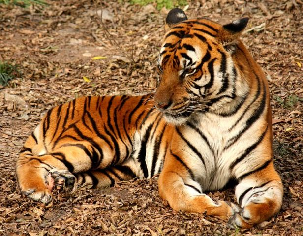 "Boy's Arm ""Bitten Off"" By Tiger In Indian Zoo"