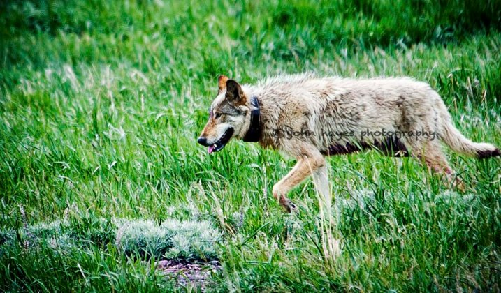 Most Famous Wolf Shot Outside Of Yellowstone
