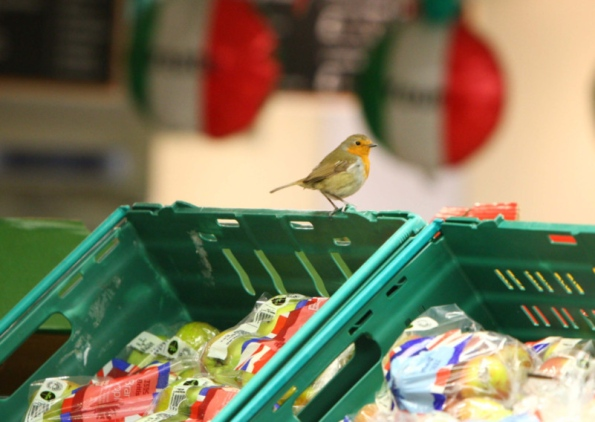 Robbing robin ruffles Inverness supermarket's feathers