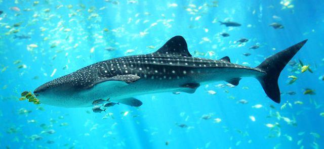 Whale Shark Feeding Tourism Sparks Concern
