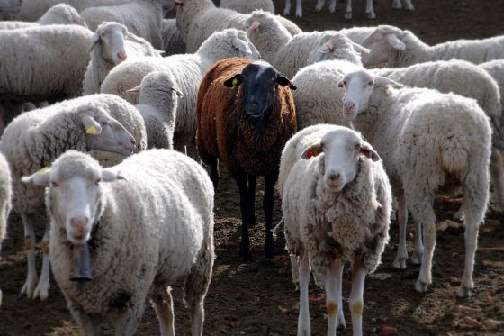 Sheep Replace Lawn Mowers in Paris In Eco-Friendly Lawn Care Plan