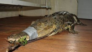 SWEET DREAMS: Fisherman Ashley Sala shared a room with the 2m crocodile he caught at Ninds Creek, Innisfail, after it got caught up in his fishing line. Picture: John Flynn Source: The Cairns Post