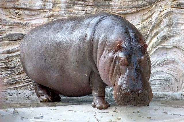 Swallowed By Hippo: Paul Templer Describes Horrific Day