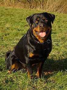 """The Rottweiler is a medium to large size breed of domestic dog. The dogs were known as """"Rottweil butchers' dogs"""" (German: Rottweiler Metzgerhund) because they were used to herd livestock and pull carts laden with butchered meat and other products to market."""