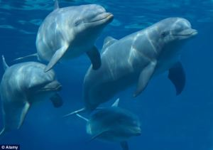 Researchers from the University of Chicago claim that a dolphin's social recognition may be better than humans' because we rely on sight to recognise faces and faces change over time, while the signature whistles of individual dolphins remain the same