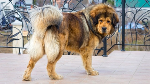 A China zoo has angered visitors by trying to pass off a Tibetan mastiff, the breed pictured, as a lion, state media reported.