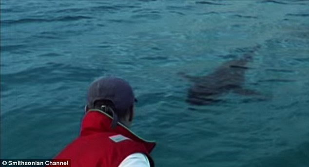 A three-metre great white shark was tagged off the WA coast