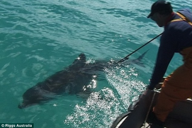 The three-metre great white shark being tagged before it disappeared off the Western Australia coast in 2004