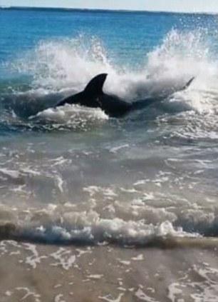 shark chokes on sea lion `