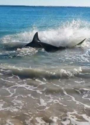 shark chokes on sea lion 2