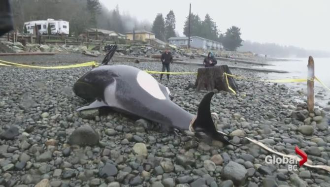 dead orca was pregnant