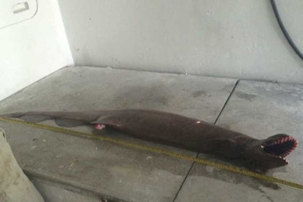 Frilled shark captured 3