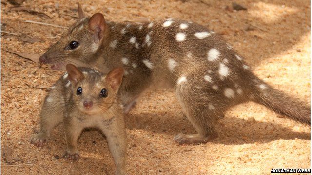 Australia extinction: The endangered northern quoll, a mammal species native to Australia