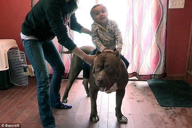 All aboard! Proud owners of the world's biggest pit bull dog have told how their three-year-old child rides the 175lb pooch like a horse
