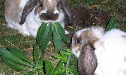 Stoned rabbits: Stoner Rabbits in Utah?