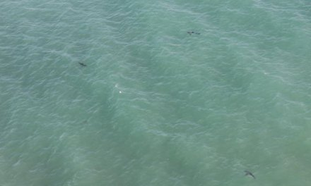 Over A Dozen Great Whites Spotted Feeding off Huntington Beach California (PHOTO)