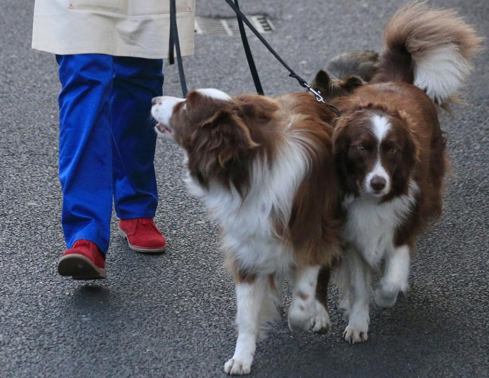 "In this May 26, 2015 file photo, Jules O'Dwyer walks with her dogs including Matisse, outside Fountain Studios in Wembley, north London. Producers of the popular ""Britain's Got Talent"" TV show and the dog trainer who won the competition are coming under fire after a ""doggie double"" was used to perform a trick. Border collie Matisse was replaced by a lookalike dog for a tightrope-walking sequence during the routine in Sunday night's live final. Producers Tuesday, June 2, 2015 apologized to viewers who may have been unaware that trainer Jules O'Dwyer was using a team of dogs. (Jonathan Brady/PA via AP, File) UNITED KINGDOM OUT"