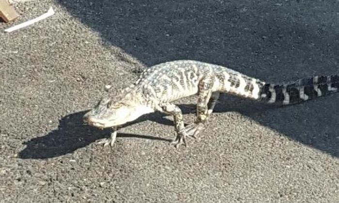 Alligator in New York City Dies (PHOTO)