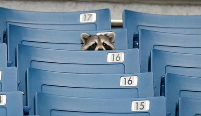 mets catch baby raccoon