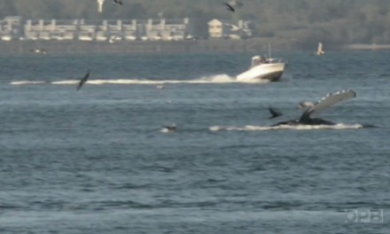 Whales in Columbia River (VIDEO)