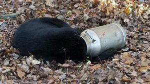 In this photo provided by the Maryland Department of Natural Resources Wildlife and Heritage Service, a male black bear rests with its head stuck in a milk can near Thurmont, Md. (Maryland Department of Natural Resources Wildlife and Heritage