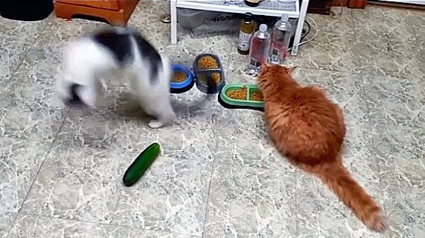 stop scaring cats cucumbers