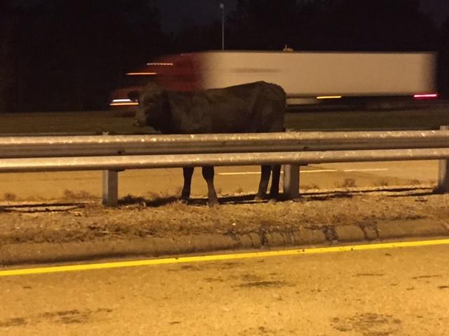 Cow truck overturns I-20