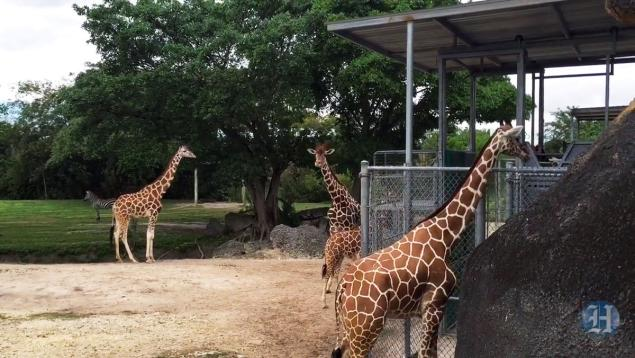 THE MIAMI HERALD The young giraffe trapped his head between two posts of a fence.