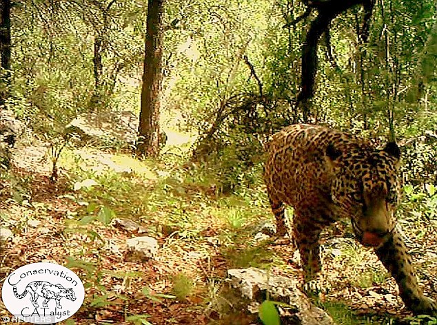 The only known wild jaguar in the United States has been seen roaming around a creek in southern Arizona
