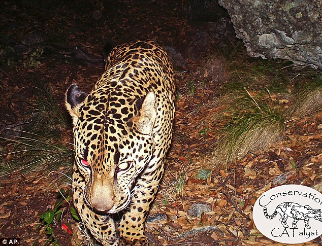 El Jefe jaguar: Only known wild jaguar in the U.S filmed in Arizona (PHOTO)