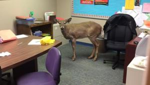 deer jumps through school window