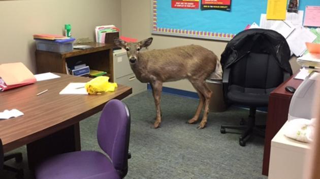 deer jumps through school window