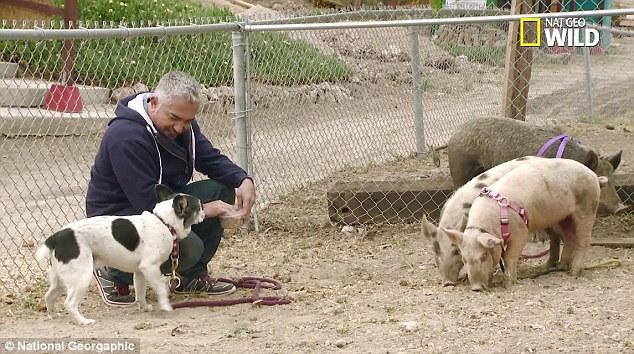 Cesar Millan Under Investigation For Animal Cruelty