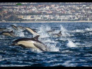 'Dolphin stampede'