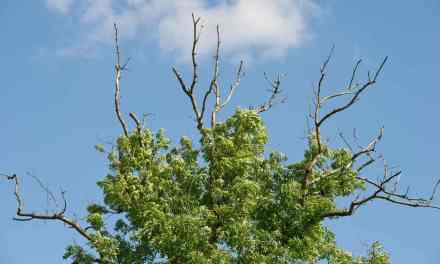 Europe ash tree face extinction on two fronts