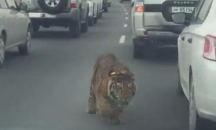 Tiger on Highway Stops Commuters In Qatar (VIDEO)