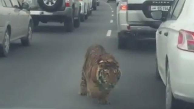 Tiger on highway